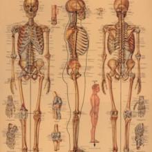 פוסטר/ נייר אריזה- גוף האדם