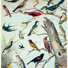 פוסטר/ נייר אריזה- ציפורים